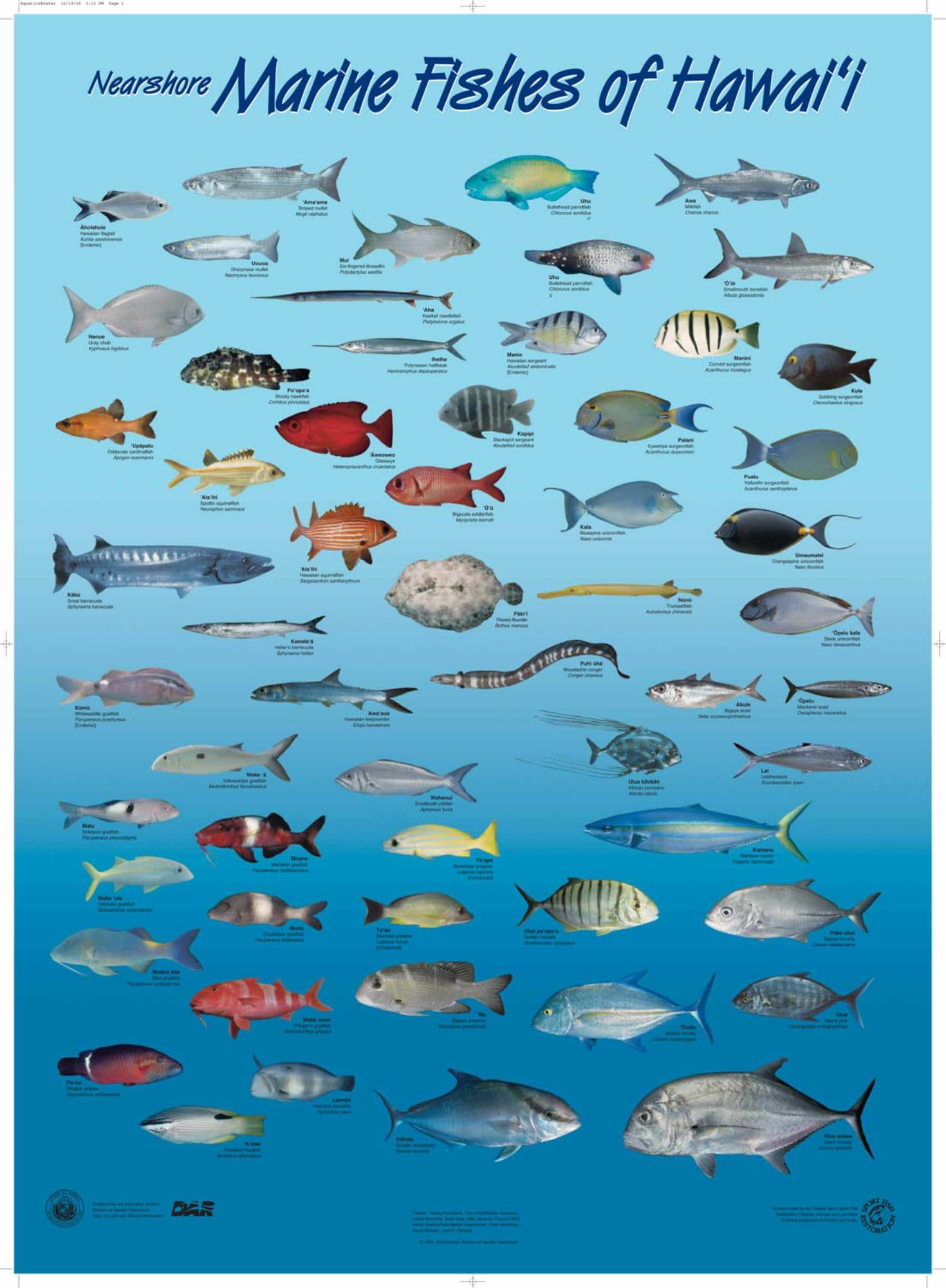 Hawaii marlin fishing hawaiian species all for Fish species hawaii